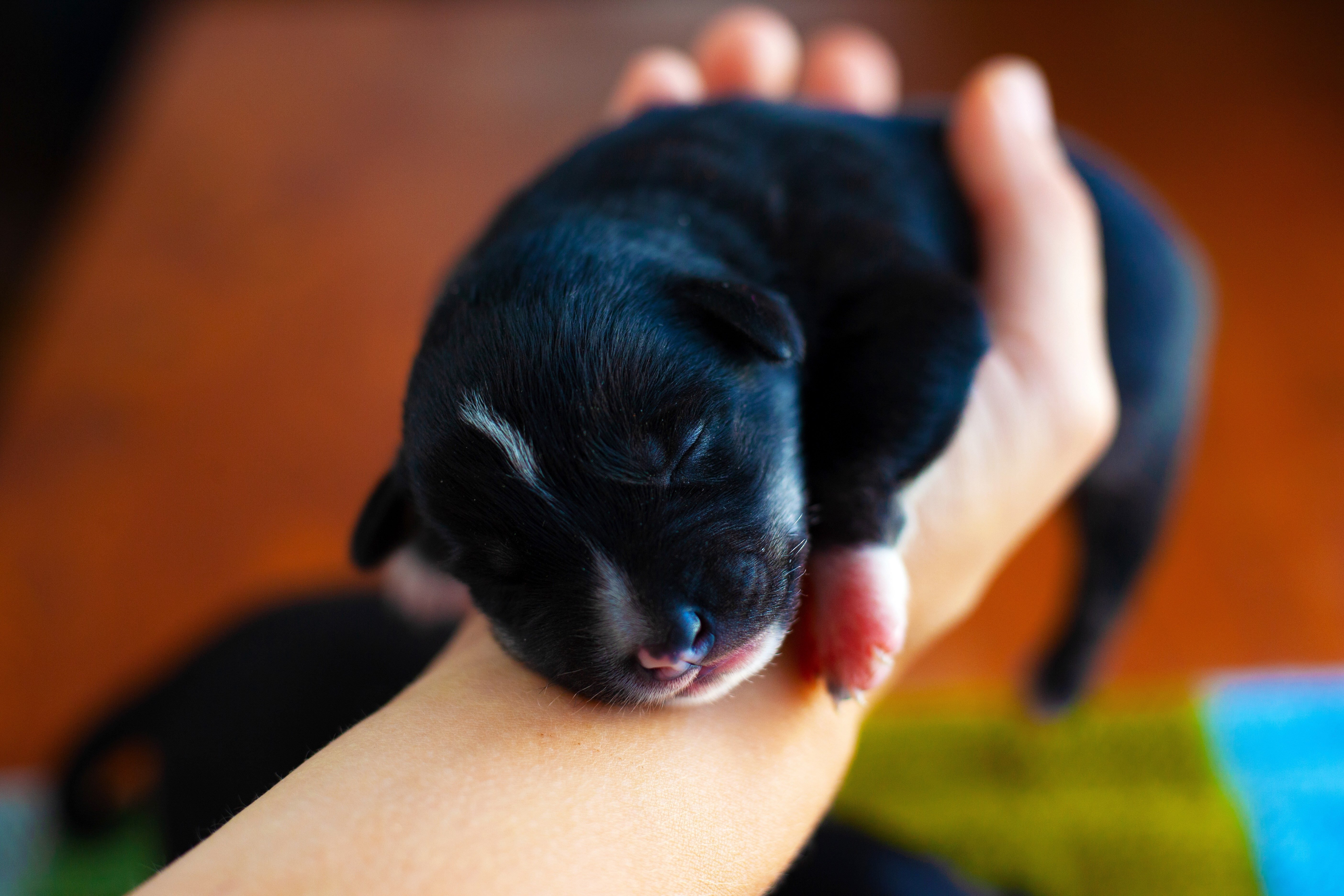 little black puppy sleeping in his arms