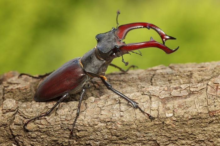 Giant Stage Beetle attitude of combat