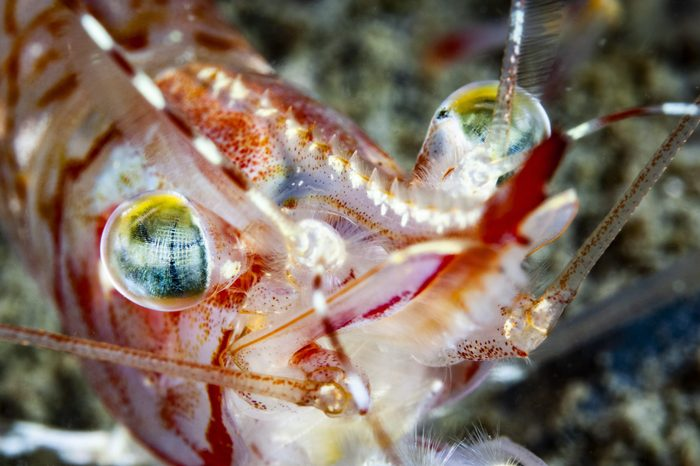 Striped pink shrimp underwater in the St. Lawrence Estuary in Canada