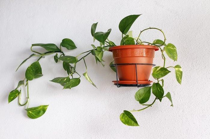 Epipremnum aureum devil's ivy