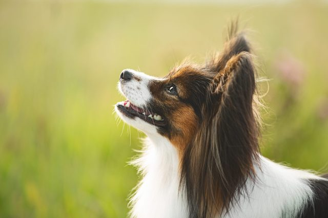 Gorgeous papillon dog standing in the field in fall. Profile portrait of Continental toy spaniel outdoors