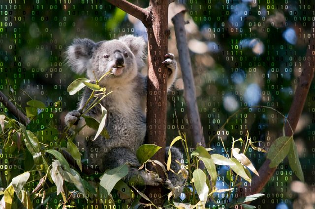 koala in a tree with computer code overlay