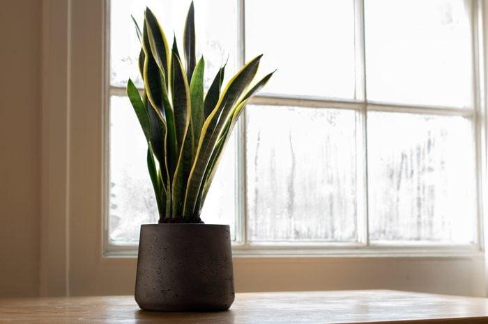 A Sansevieria trifasciata plant