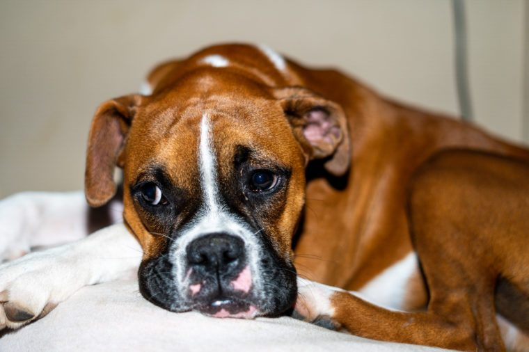 Boxer Puppy Laying Down