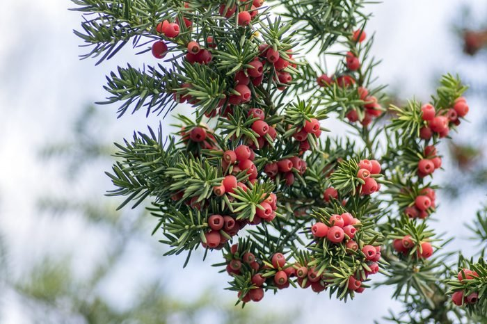 Taxus baccata European yew is conifer shrub with poisonous and bitter red ripened berry fruits on branches, light blue sky