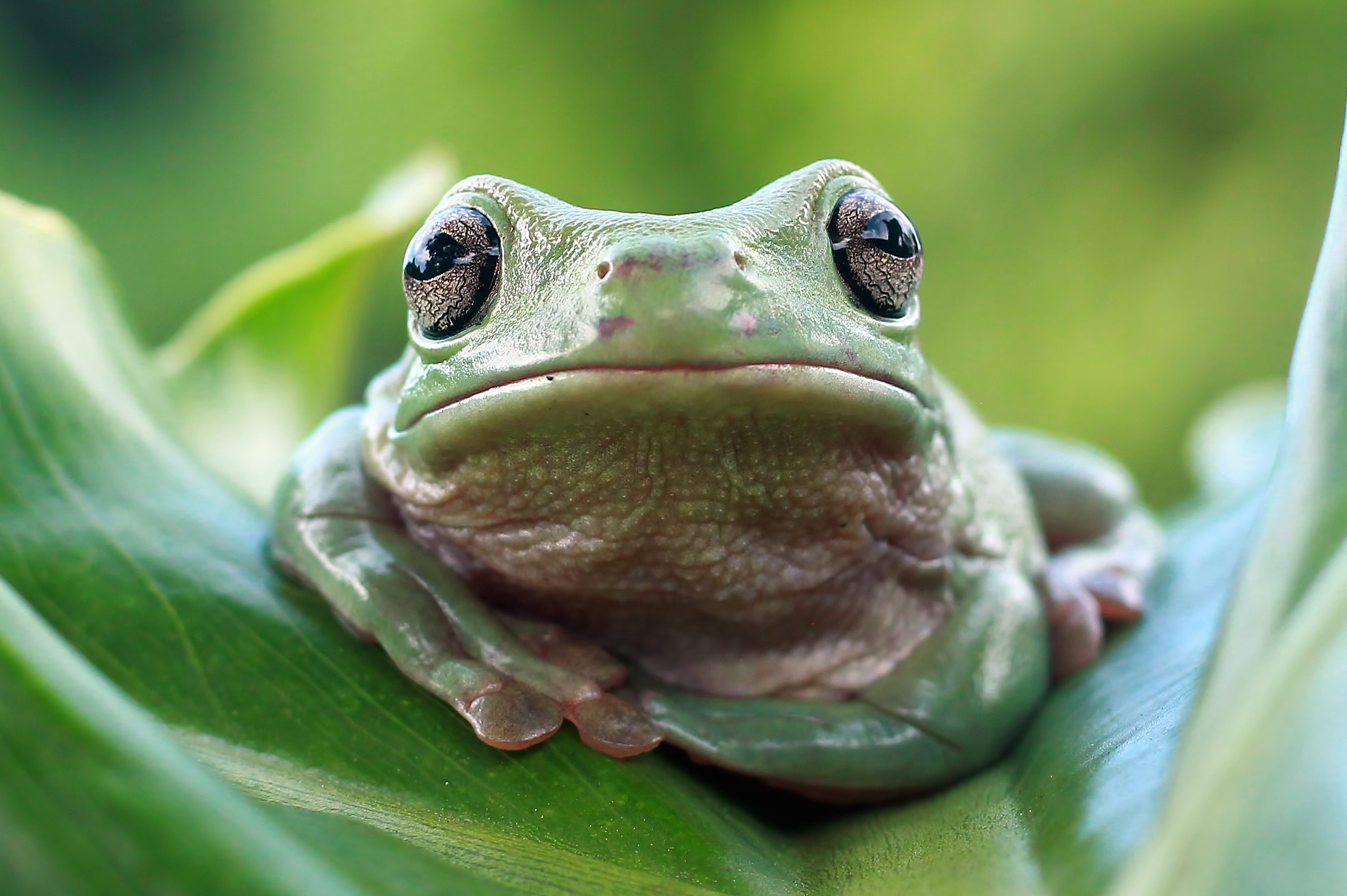 Dumpy frog on green leaves, Dumpy frog sitting on branch
