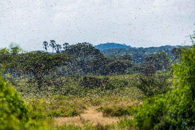 Swarm of Desert Locusts in Samburu National Park