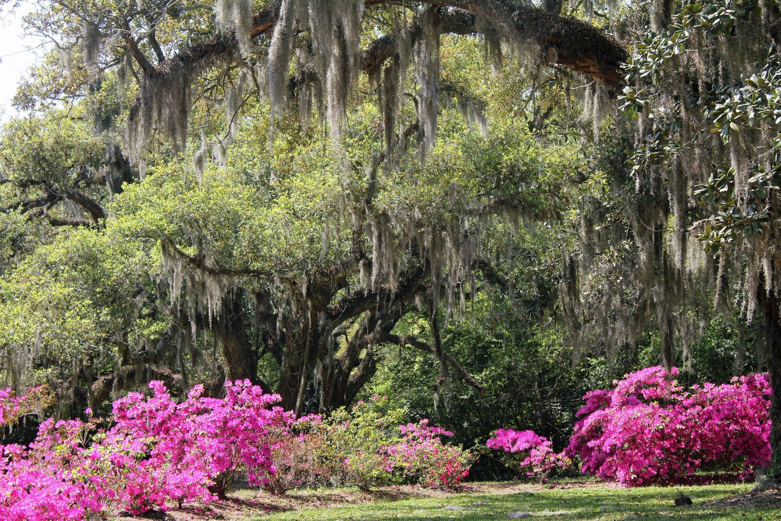 Azaleas at the peak of blossoming surrounded by huge oaks draped in spanish moss on a bright, sunshiny day. Gardens at Avery Island, New Iberia, Louisiana.