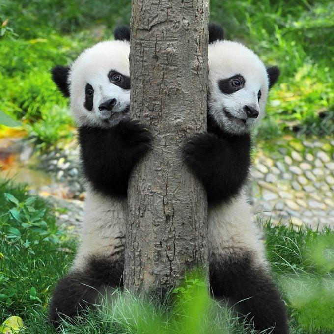 giant pandas language