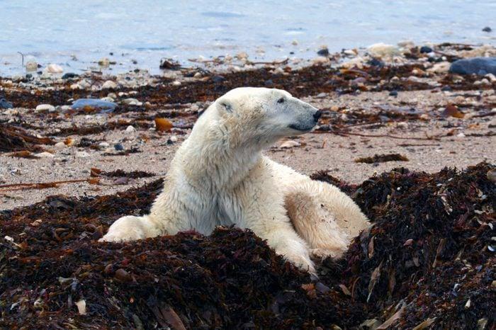 Polar Bear sitting in tundra