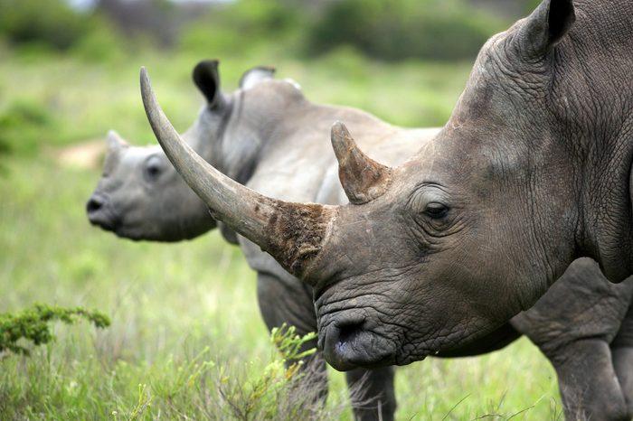 Female white rhino / rhinoceros and her calf / baby