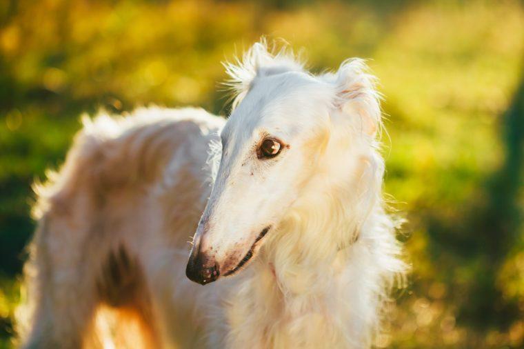 White Russian Hunting Dog, Sighthound, Russkaya Psovaya Borzaya,