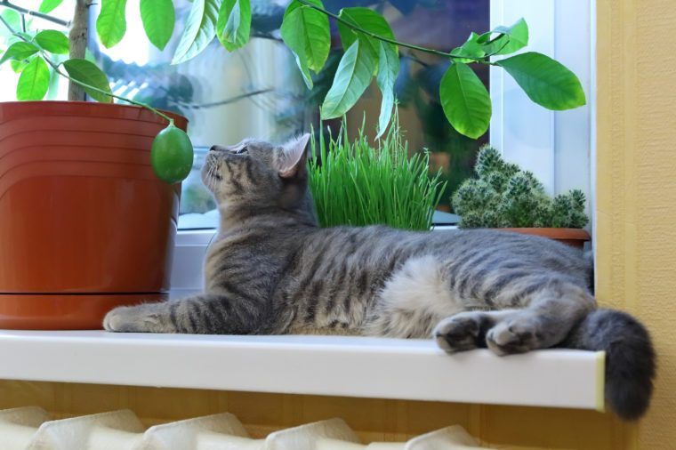 Gray cat of the Scottish breed among houseplants