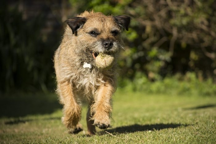Border Terrier playing fetch