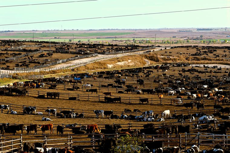 Cattle Feedlot in Ingalls Kansas