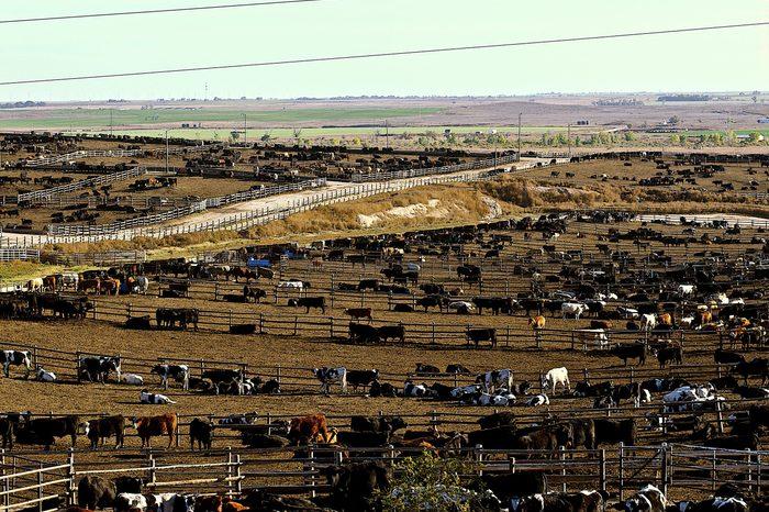 Cattle Feedlot in Ingalls Kansas