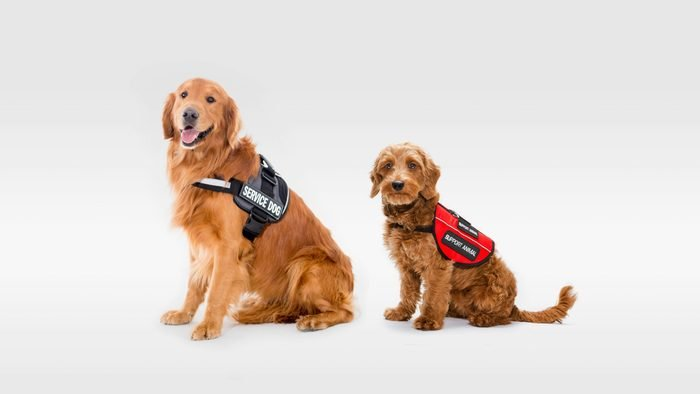service dog and support dog on gray background