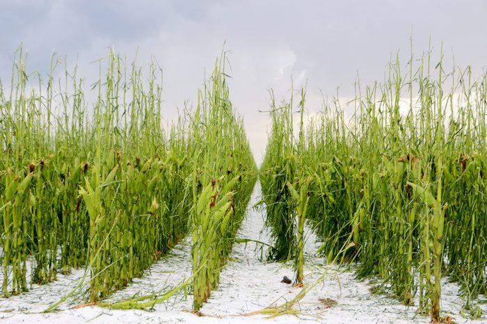 corn hail