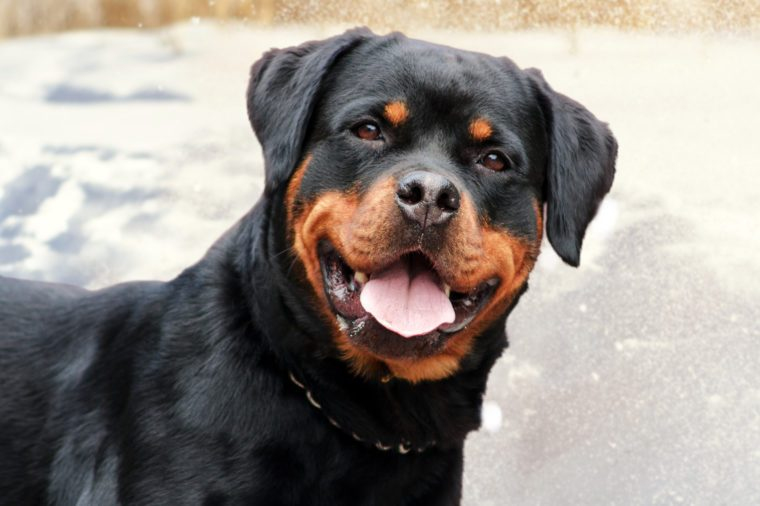 cute rottweiler dog on the snow background