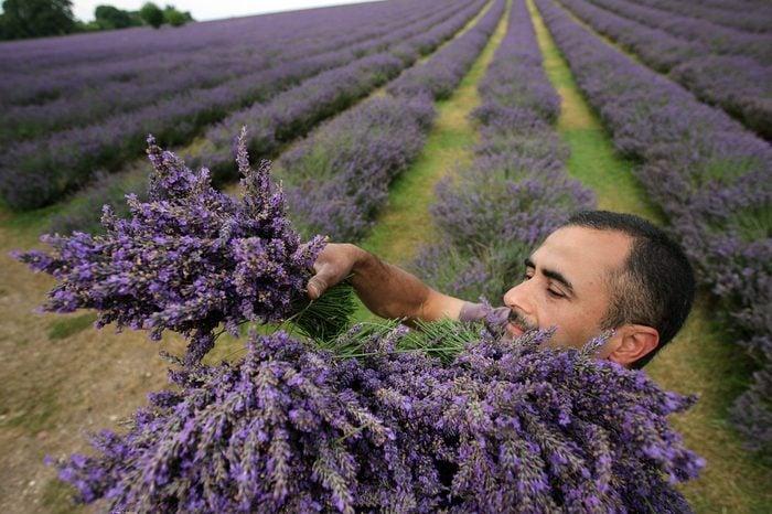 The English Lavender Harvest