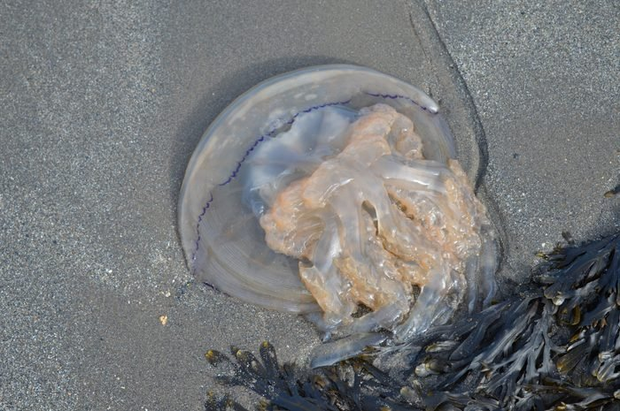 Jellyfish washed up on a beach