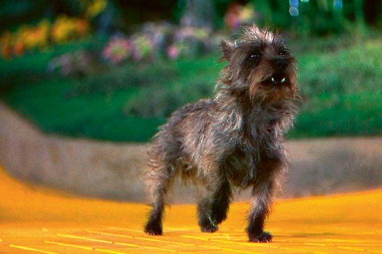 toto wizard of oz movie dog