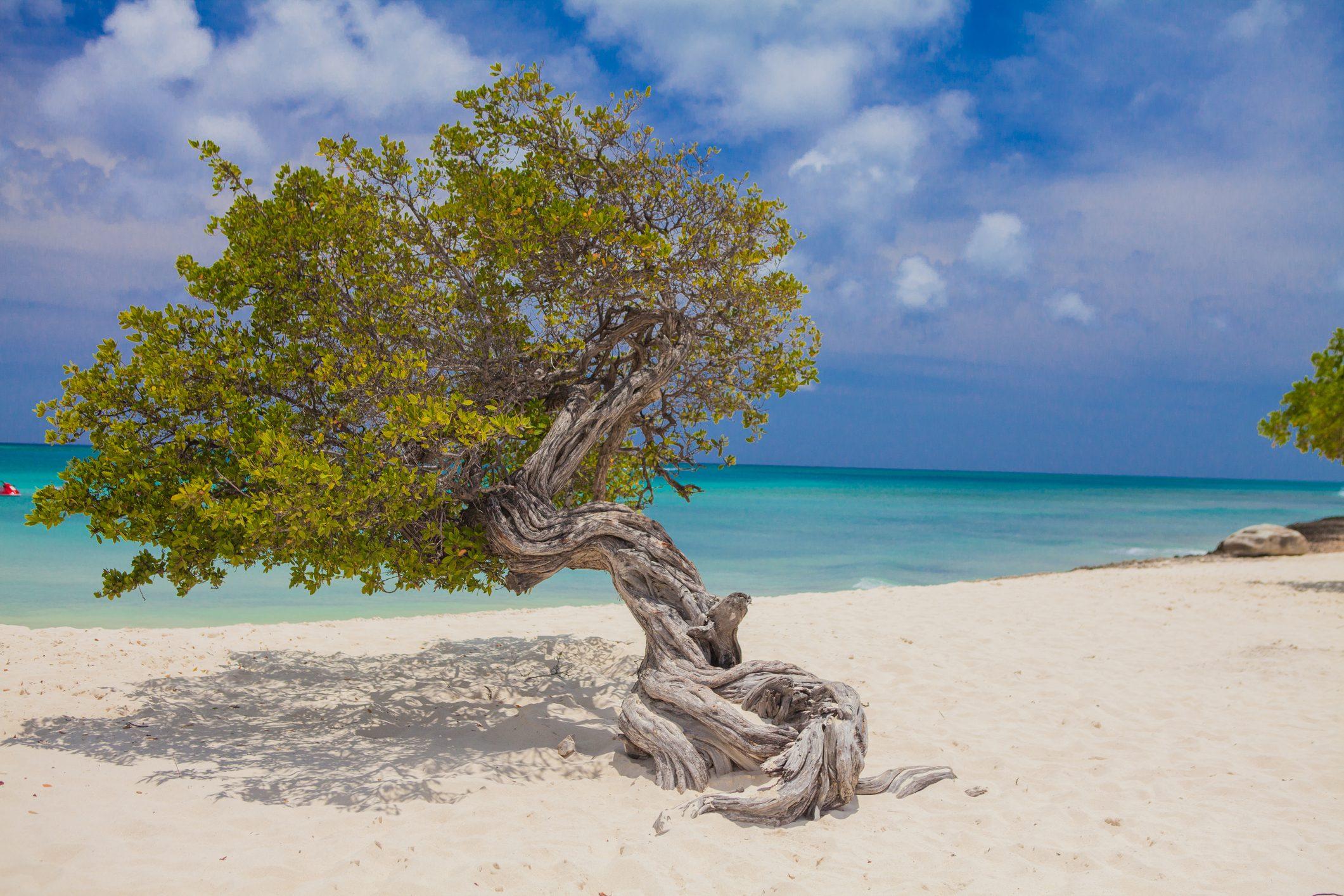 Crooked tree on Palm Beach, Aruba, Lesser Antilles, Caribbean