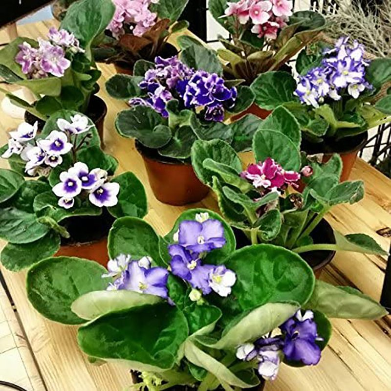 african violet plants house plants