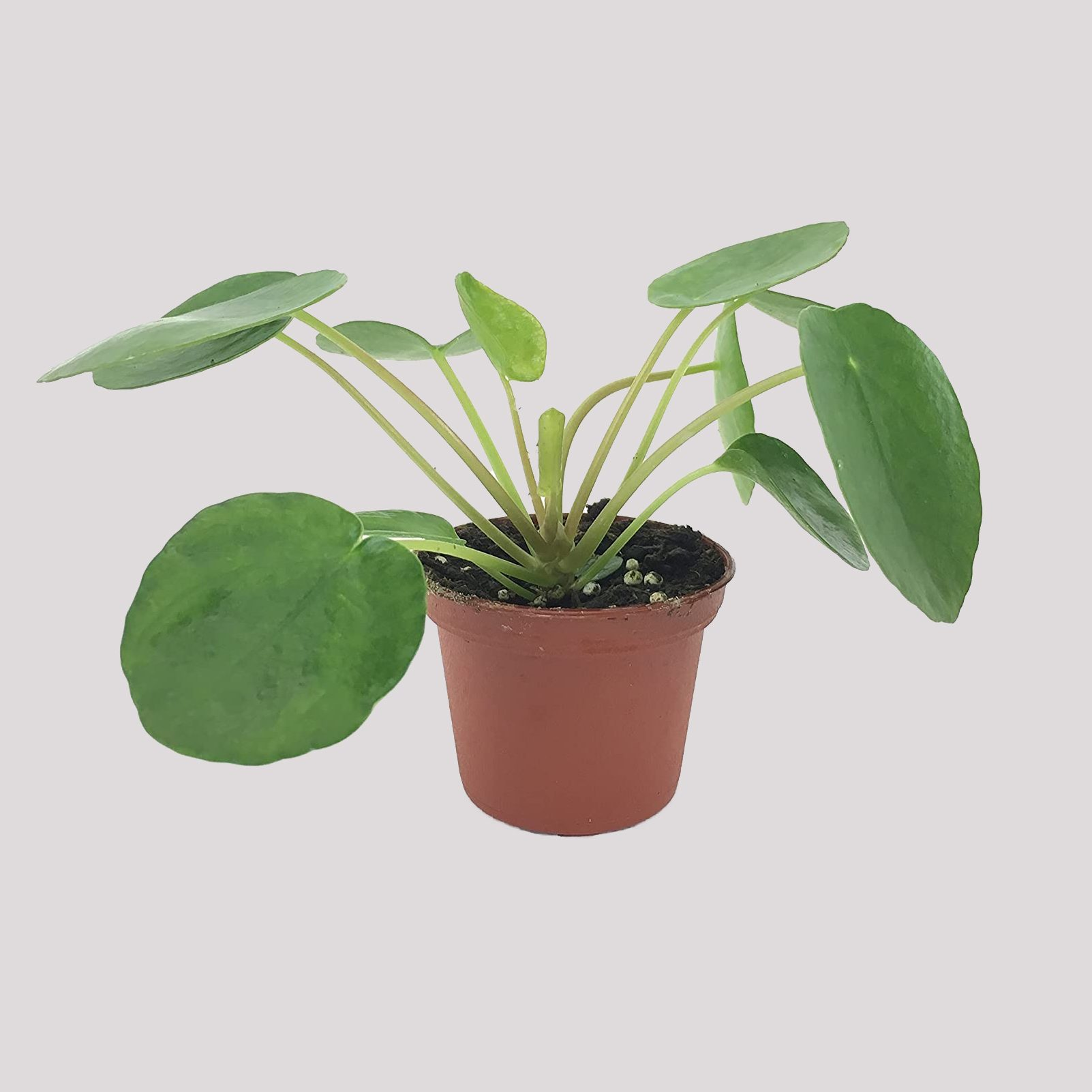Chinese money plant house plants