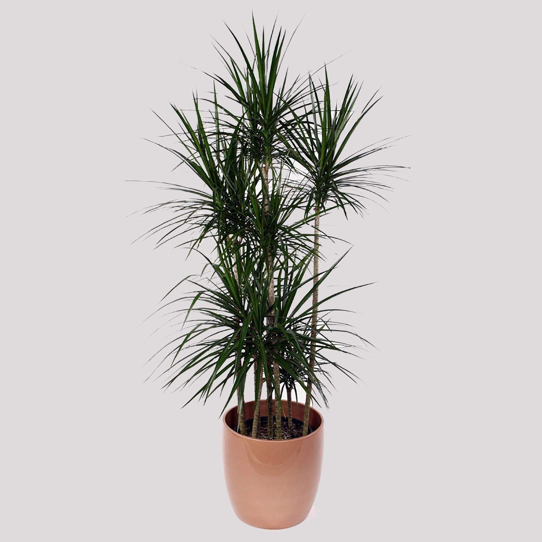 Dragon tree house plant