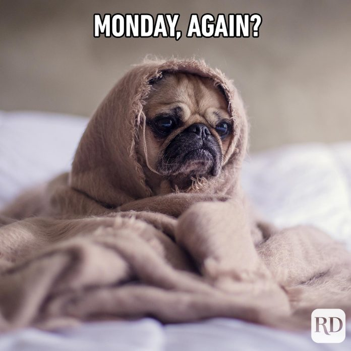 Dog swaddled in blanket on bed. Meme text: Monday, again?