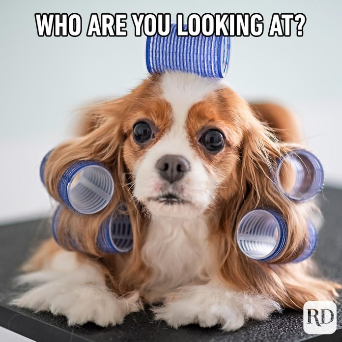 Little dog with hair in curlers. Meme text: Who are you looking at?