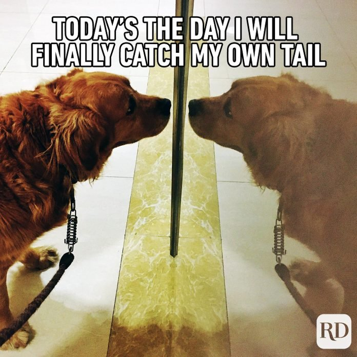 A dog staring at itself in the mirror. Meme text: Today's the day I will finally catch my own tail