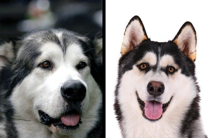 Alaskan Malamute vs. Siberian husky