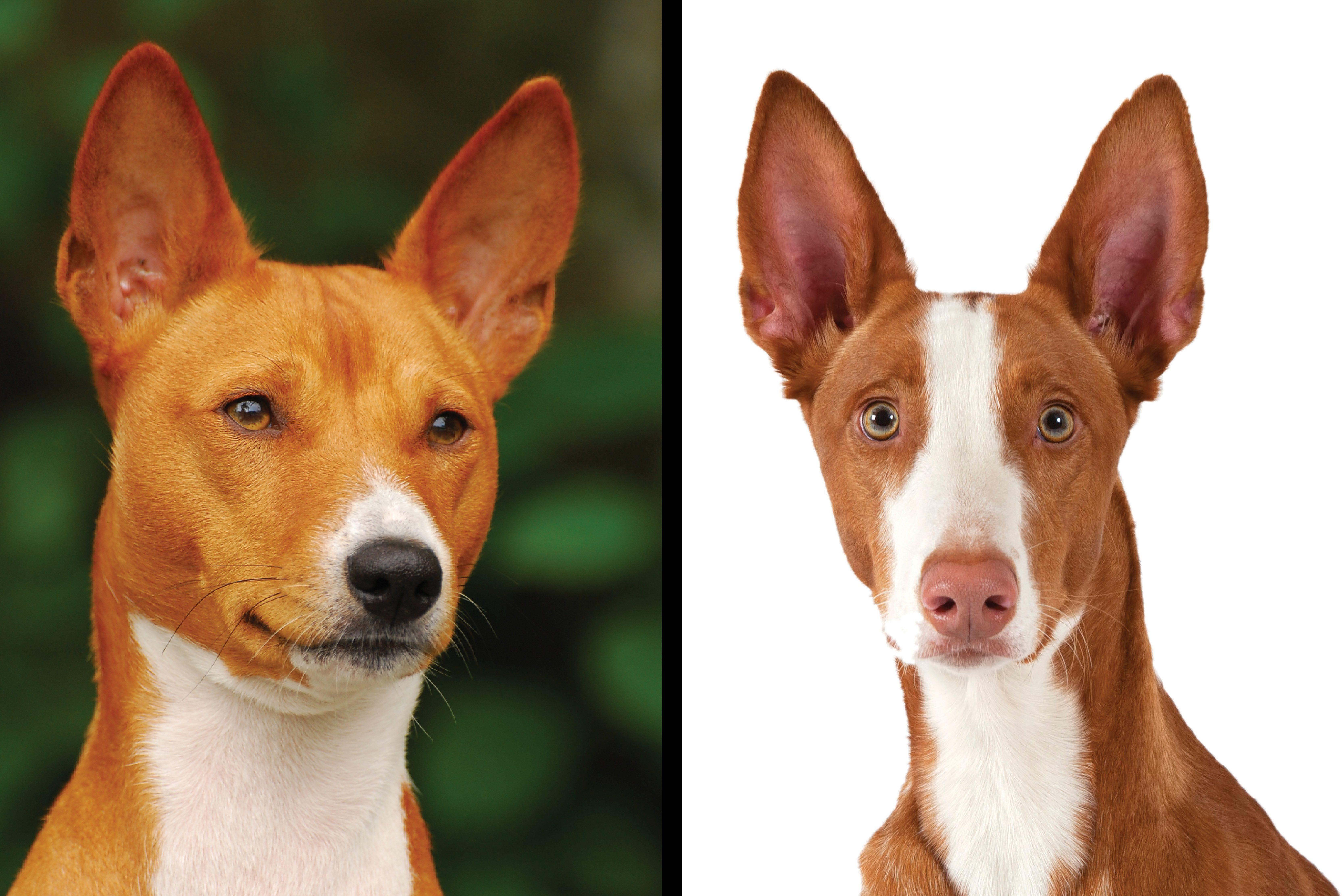 Basenji vs. Ibizan hound