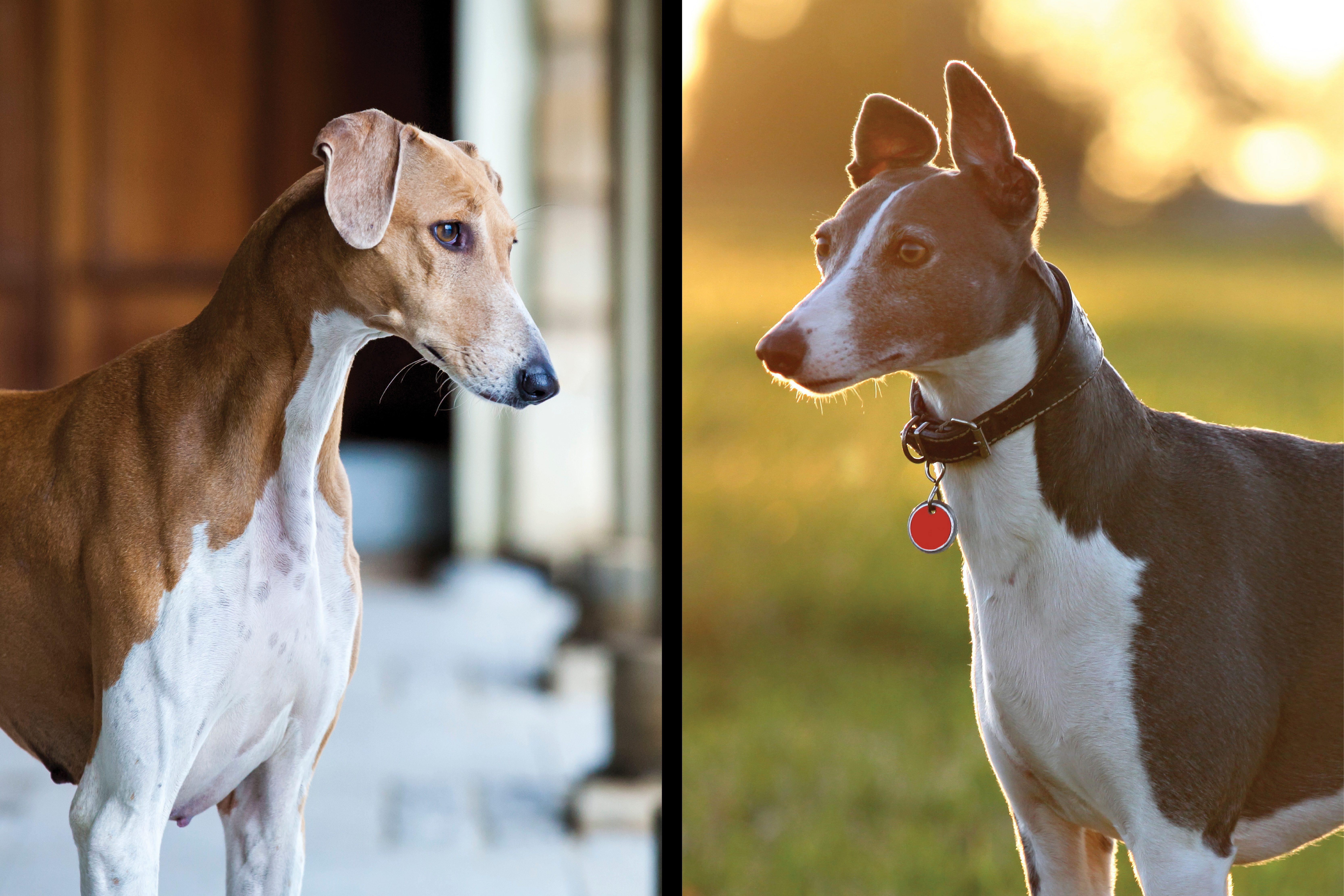 Azawakh vs. greyhound