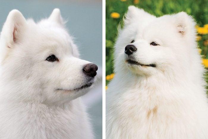 Samoyed vs. American Eskimo dog