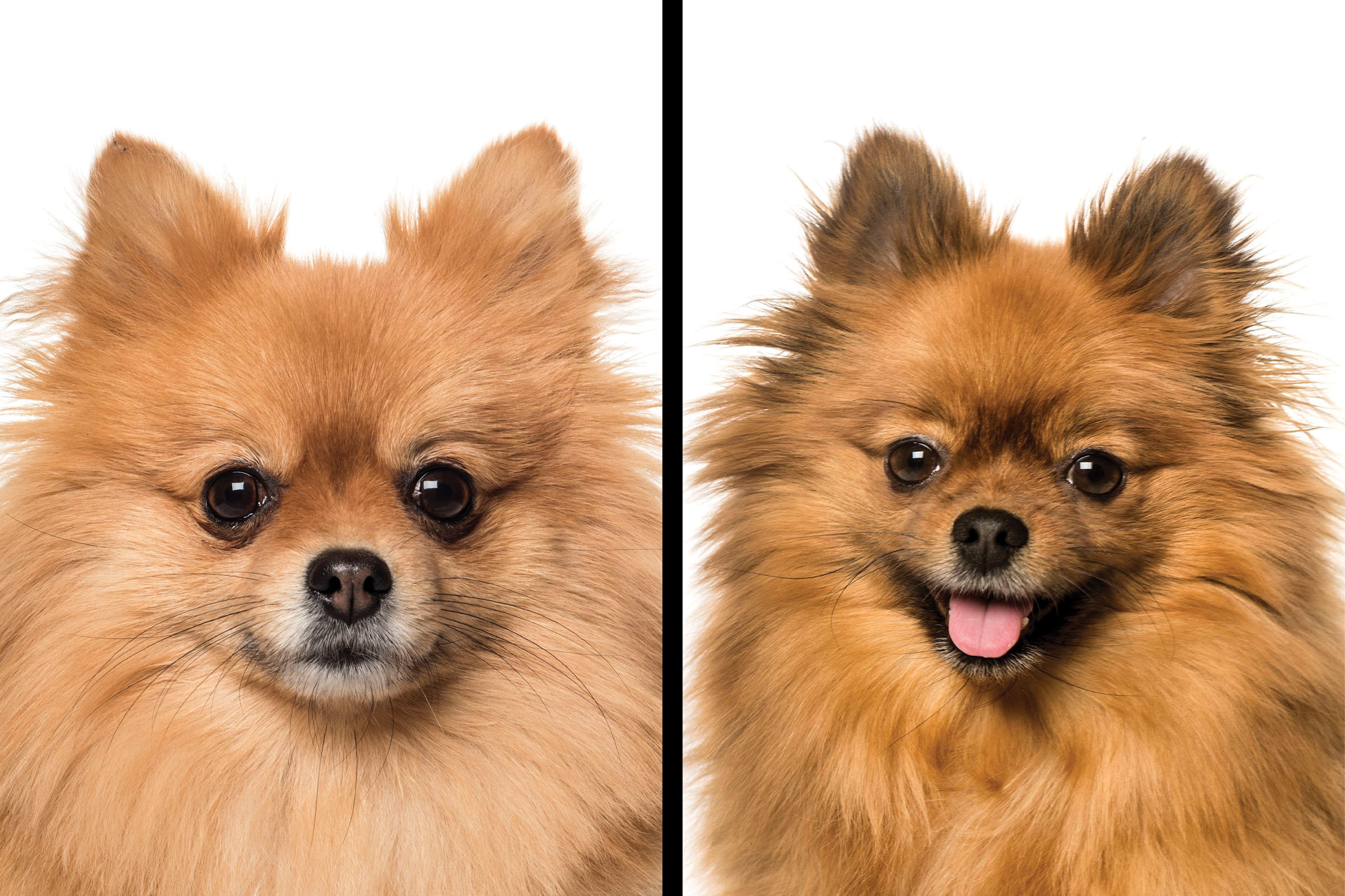 Pomeranian vs. Keeshond
