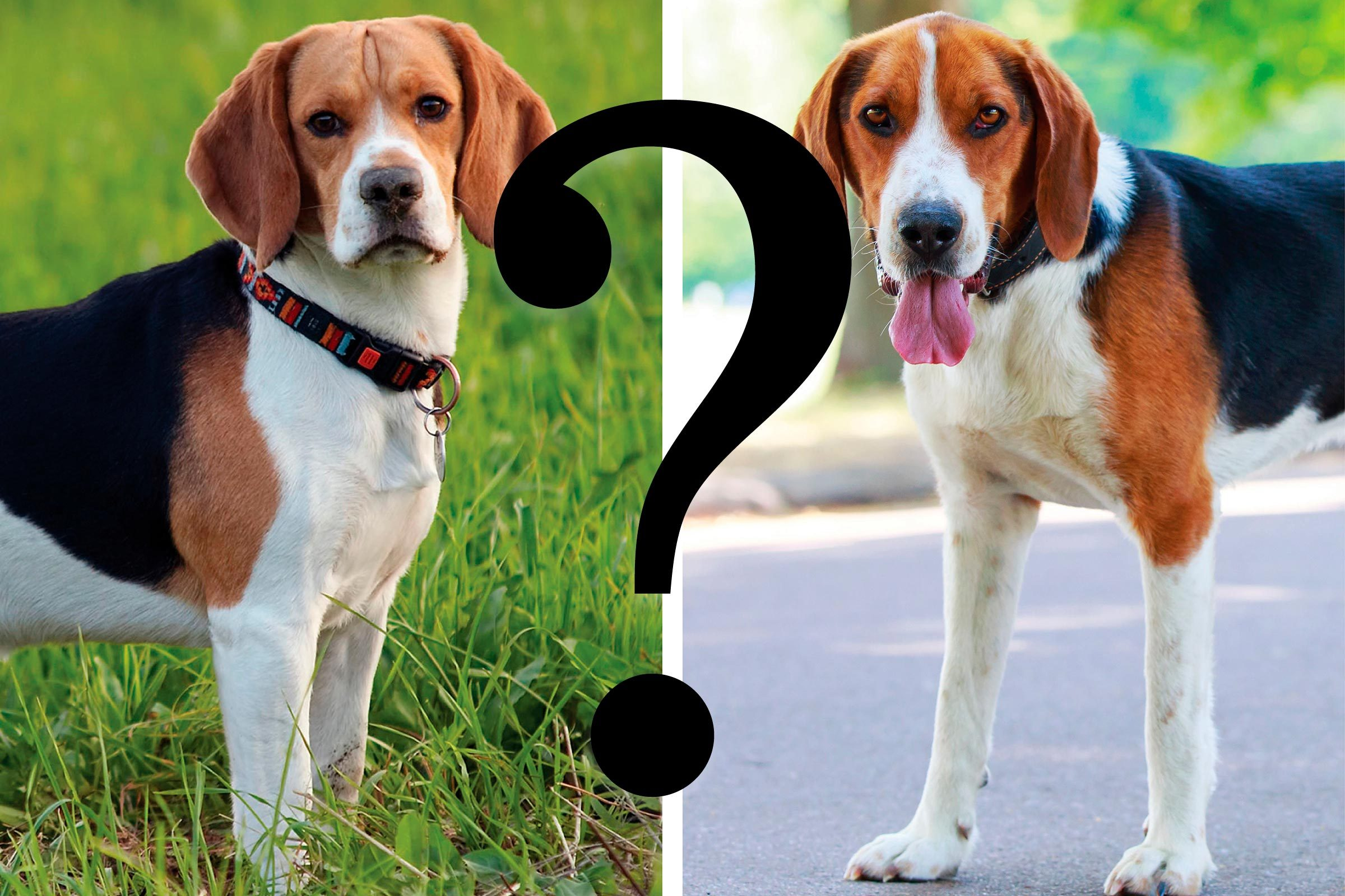 similar dog breeds side by side with a question mark