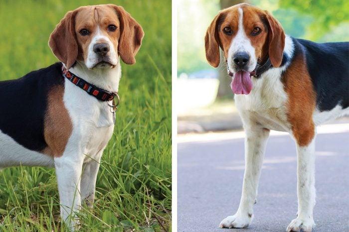 Beagle vs. American foxhound