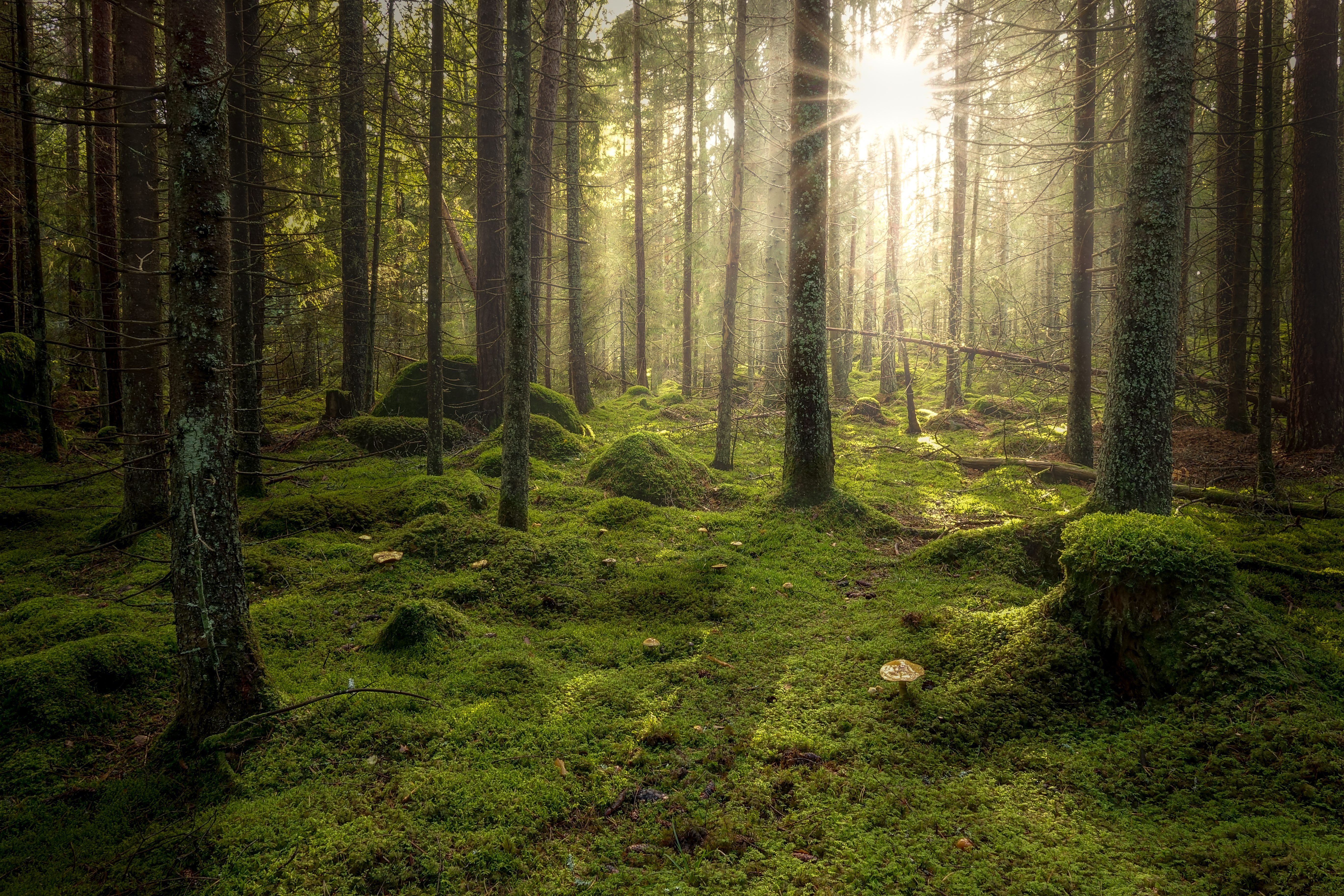 Green mossy forest with beautiful light from the sun shining between the trees in the mist.