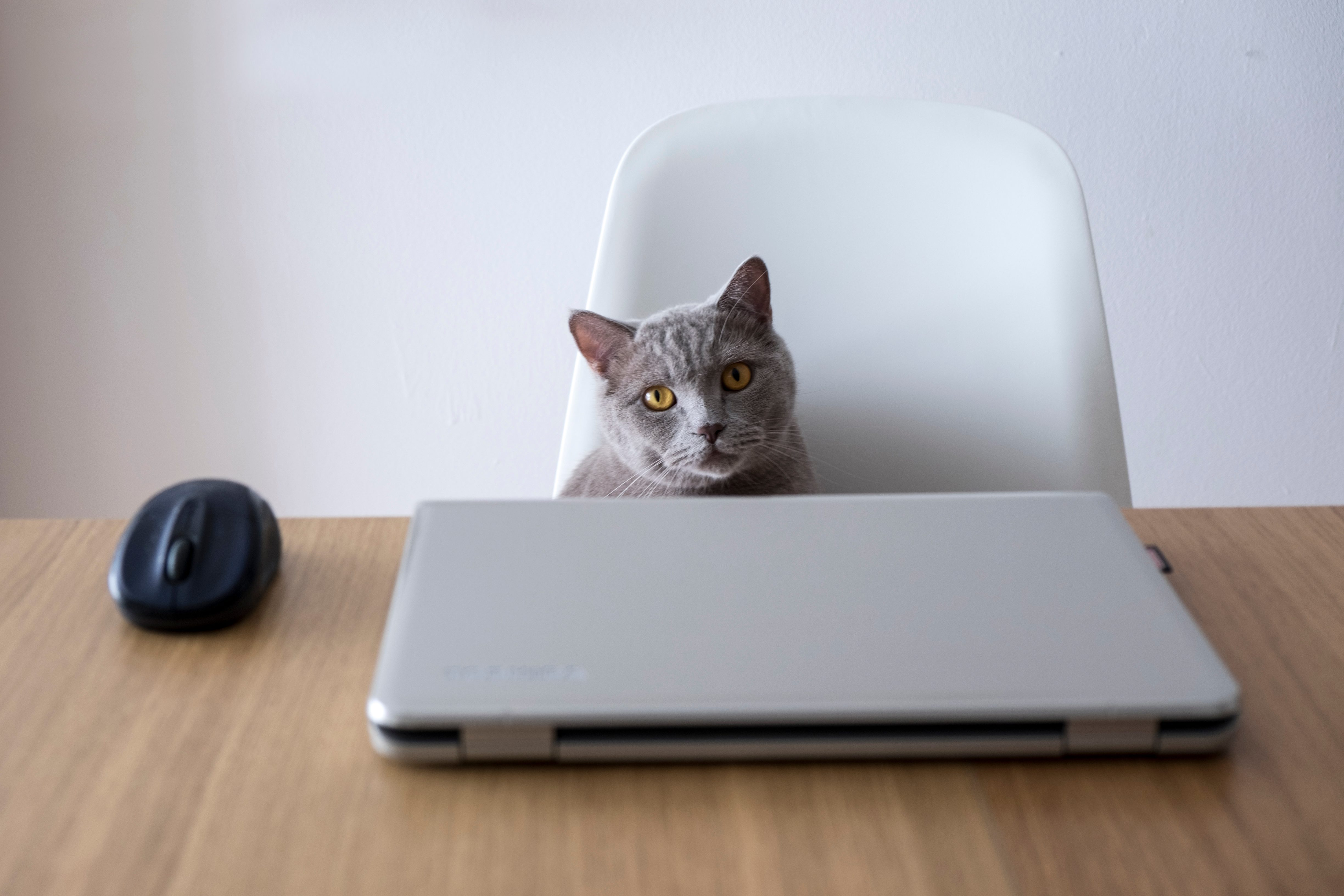 Cat sitting on a chair in front of a laptop