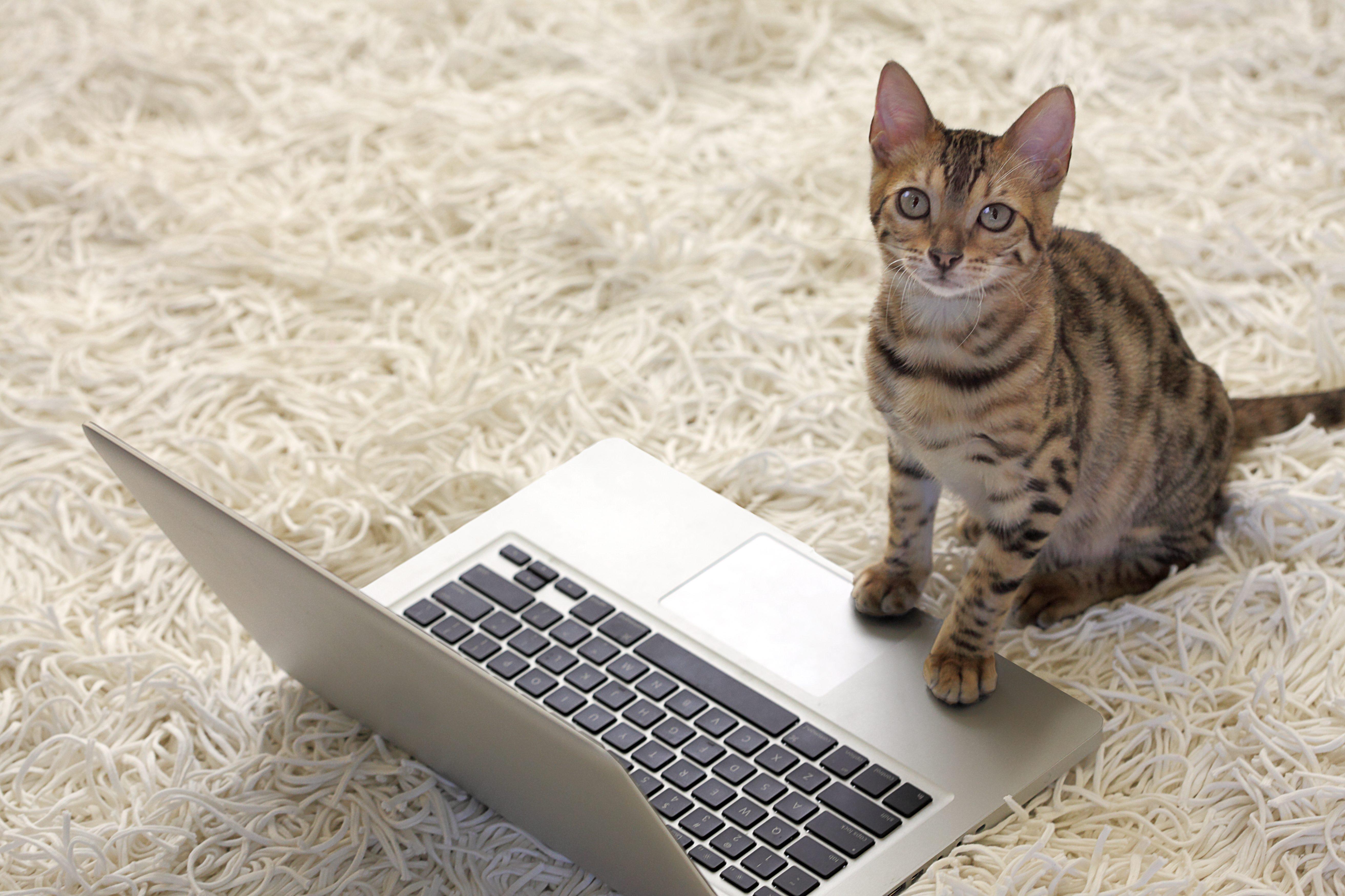 Bengal Cat with Laptop Computer