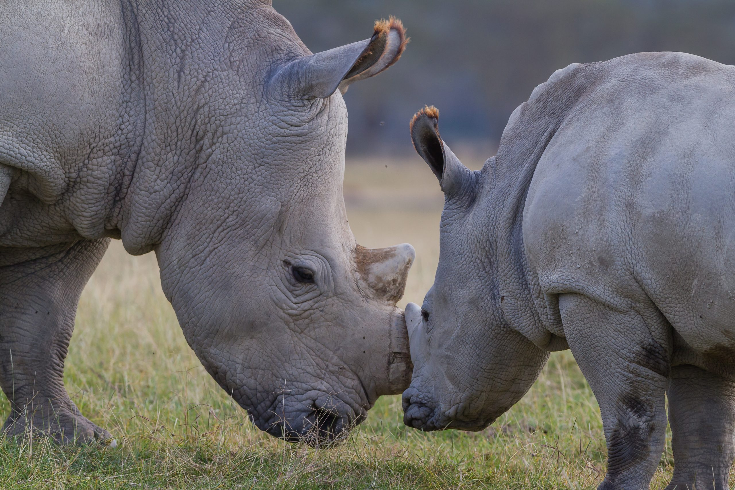 Rhino mother with baby rhino