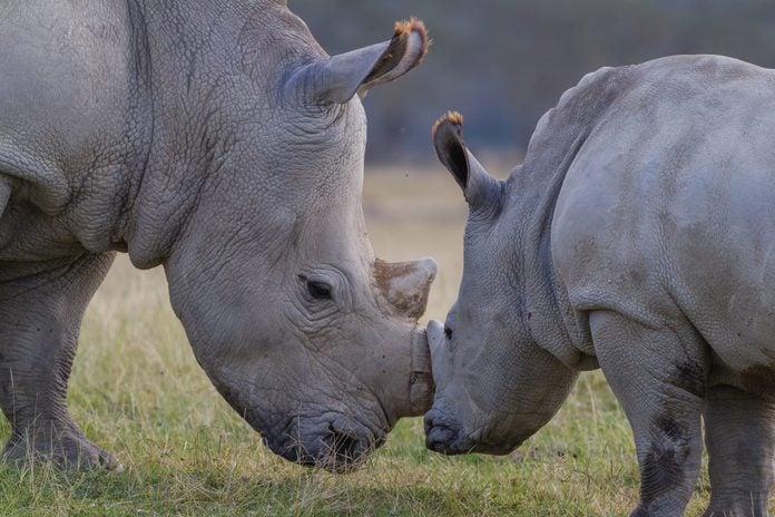 Rhino mother with baby rhino