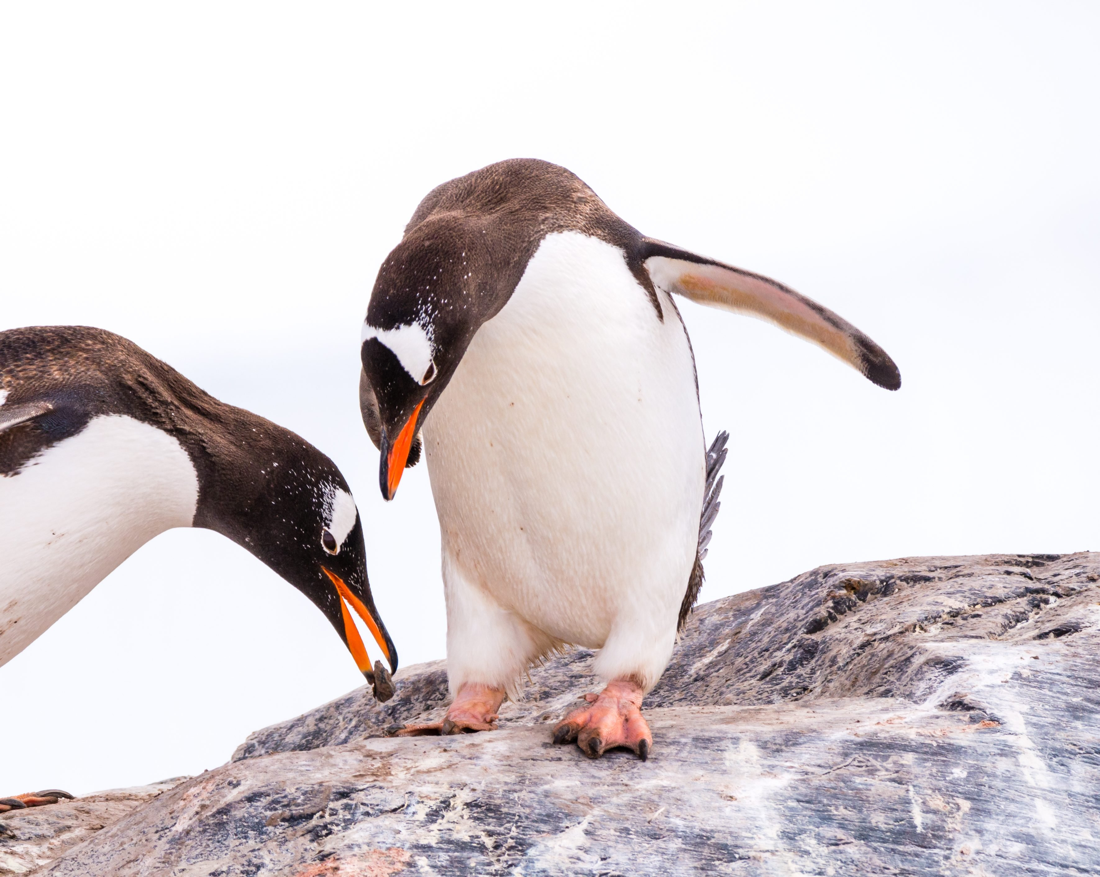 Male gentoo penguin offering stone to female, who is bowing while standing on rock, Mikkelsen Harbour on Trinity Island, Antarctica