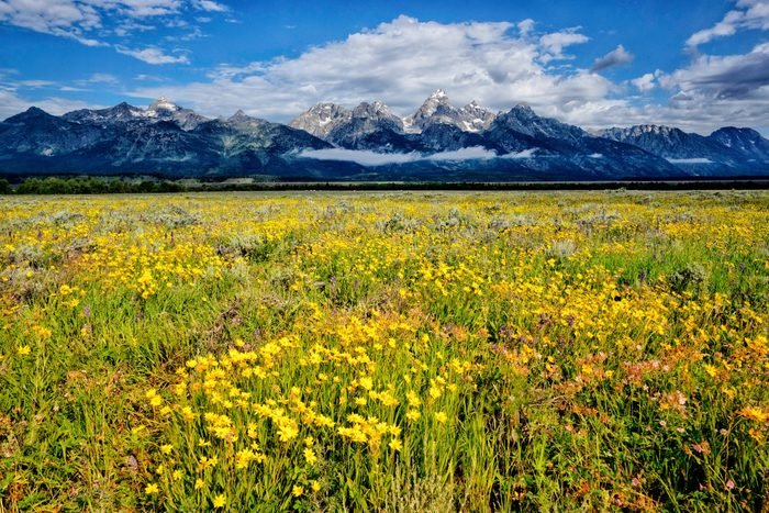 Summer wildflowers in Jackson Hole