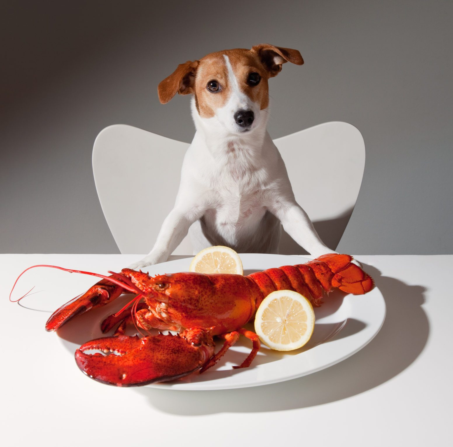 Dog with lobster dinner