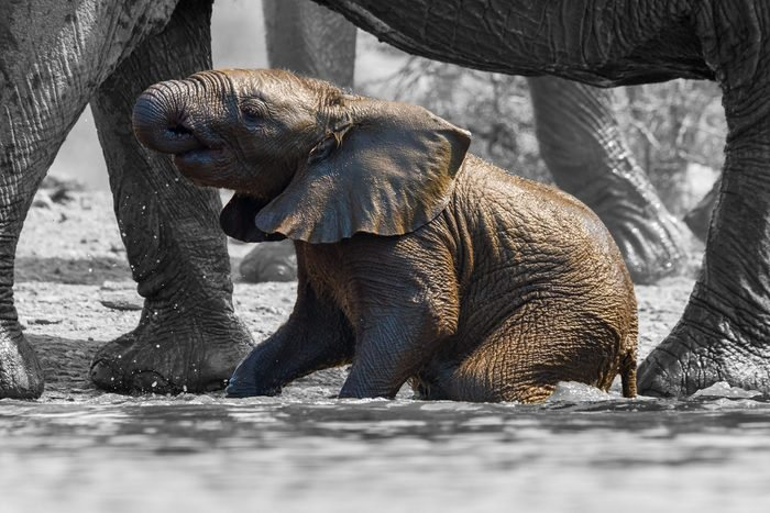 Baby Elephants Always Stick Out