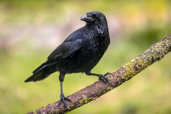 Carrion crow on branch